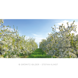 Kirschbaumplantage in voller Blüte beim Obsthof Schneekloth in Grömitz
